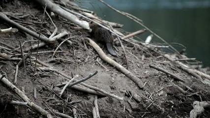 Beaver on beaver lodge in pond