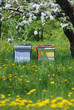 Obrazy na płótnie, fototapety, zdjęcia, fotoobrazy drukowane : Beehives with Apple Trees and Dandelions Vertical