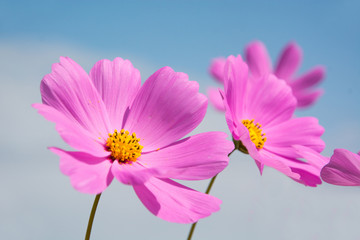 Cosmos flower with blue sky