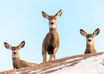 Trio of Mule Deer Does on a Snow-Covered Hill