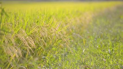 Rice field,in Tsuruoka,Yamagata,Japan