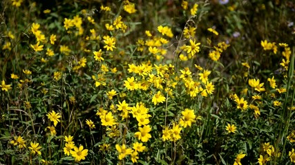 Yellow wildflowers moving in breeze, HD video