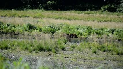 Grizzly Bears / Brown bears eating migrating salmon, Alaska