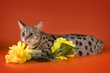 savannah cat and yellow flowers isolated on orange background