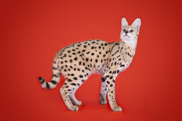 serval cat isolated on orange background
