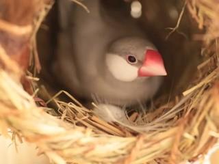 抱卵する文鳥の雌