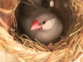 文鳥の抱卵