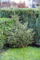 alter Tannenbaum
