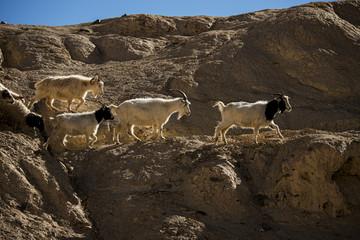 Goats on the Rock at Moon Land Lamayuru Ladakh ,India
