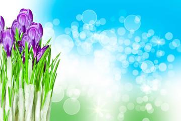 crocus flower