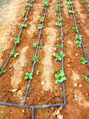 broad bean seedlings and drip irrigation