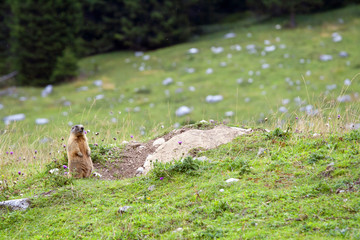 Marmot looking curiously