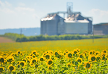 Sunflower Field and Grain Silos
