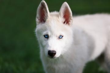 Portrait of husky