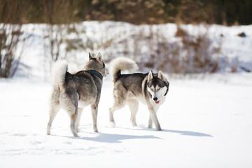 Two Husky played