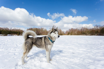 Portrait of husky