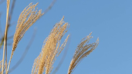 Grass plants in wind against blue sky