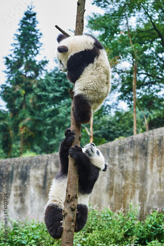 Deurstickers Panda two Panda bears cubs playing Sichuan China