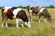 canvas print picture - Cows on a summer pasture