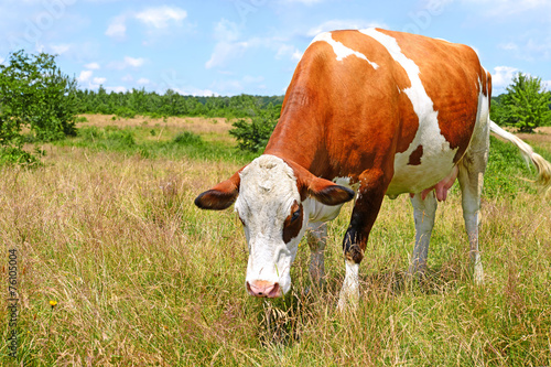 canvas print picture Cow on a summer pasture