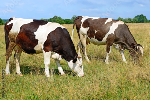 canvas print picture Cows on a summer pasture