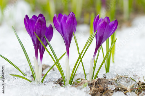Foto op Canvas Krokussen Beautiful violet crocuses