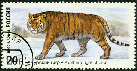 RUSSIA - 2014: shows Siberian tiger, series The Fauna Of Russia