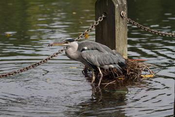 Grey Heron eating a fish