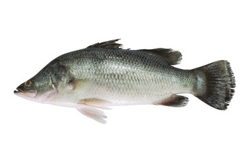 Sea bass isolated on white background