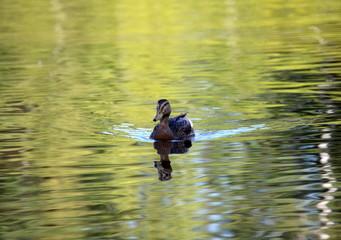 Плывущая утка