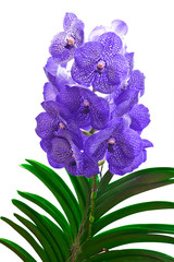 Purple Vanda Orchid isolated on white