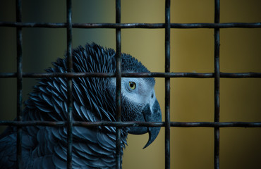 Jaco parrot in a cage. Toned