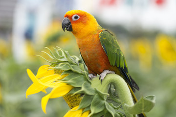 Fields of sunflowers and parrot bird.