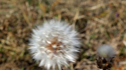 Autumn blowball
