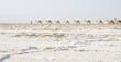Danakil, Afar Land, salt mining - 76120209