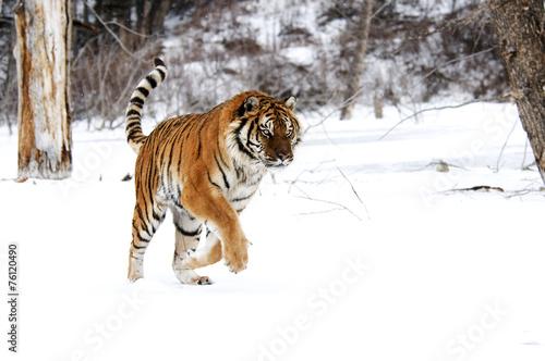 Tuinposter Tijger Tiger