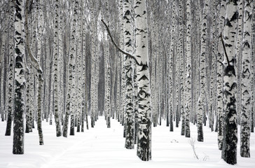 Winter birch trees