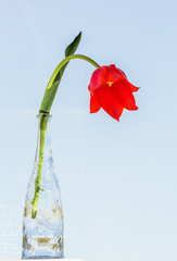 Red tulip in a glass decorative bottle