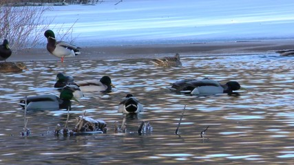 Ducks swimming in the lake during winter time