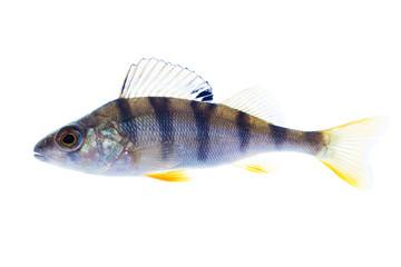 European perch on the white