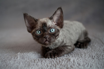 Cute devon rex baby kitten