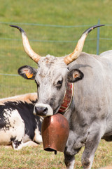 portrait of gray big horned cow whith leather collar and big dec