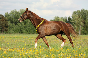 Beautiful chestnut horse trotting at the field