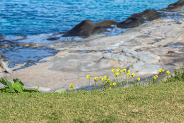 Delicate yellow wildflowers growing on grassy ocean cliff top