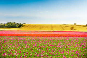Beautiful colorful tulip fields during sunny day