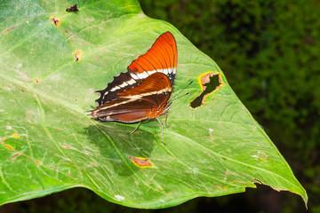 Adelpha Cytherea Linnaeus butterfly, Family Nymphalidae, Subfami