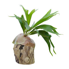 Staghorn fern on stump isolated on white background