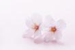 桜のイメージ - 76137296