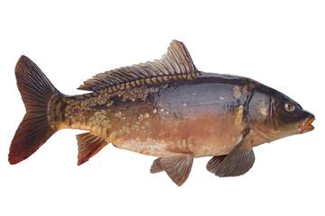 Mirror carp river fish