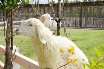 White sheep at the farm